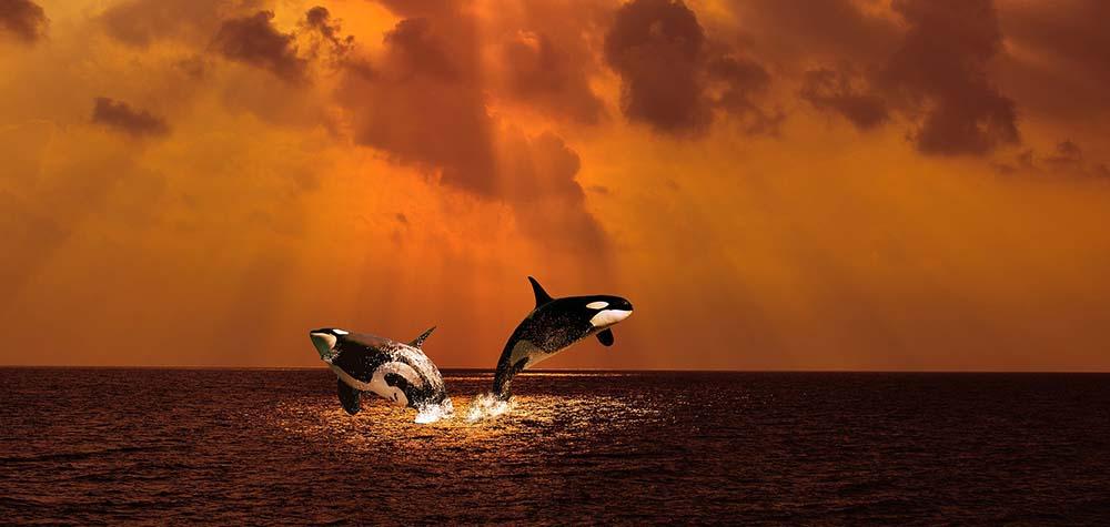 La disparition programmée des orques